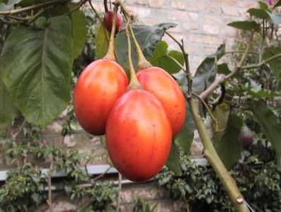 Dulce de tomate de árbol