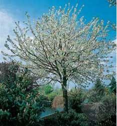 Cereza cerezas picota picotas cerezo cerezos prunus - Poda del cerezo joven ...