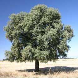 Bellota bellotas encinas quercus ilex for Lista de arboles frutales de hoja perenne