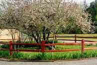 manzano en flor: manzanas