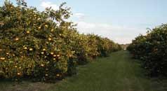 Cultivo del naranjo - Cultivo de naranjos