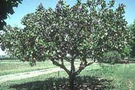 pistacho pistachero