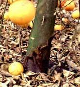 Gomosis limonero