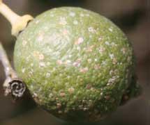 Cochinillas cochinilla c ccidos conchuelas escamas for Enfermedades citricos fotos