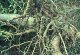 Plagas de los c tricos control de plagas aves frutos for Enfermedades citricos fotos