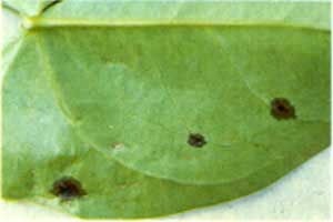 Infojardin bacteria xanthomonas sp for Infos jardin