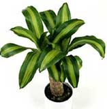 Dracaena fragans 'Massageana'