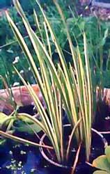 Acorus calamus for Infos jardin