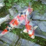 Peces para estanques koi pez de estanque for Koi cuidados