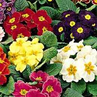 Этот вид садовой примулы всем знаком.  Поразительно милый, непритязательный, ласковый и...
