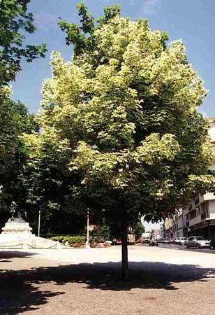 Infojardin acer platanoides 39 drummondii 39 for Infos jardin