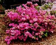 Poda de azalea hortensia camelia y cornus - Poda de hortensias epoca ...