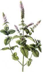 Hierbabuena, Sándalo - Mentha sativa