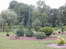 Las coníferas enanas tienen el tamaño de arbustos.