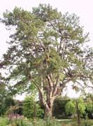 Arboles y arbustos zonas verdes campo santo for Ejemplos de arboles de hoja perenne