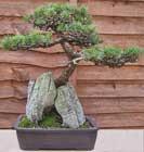 Poda del bons i y su cultivo - Cultivo del bonsai ...