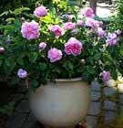 Rosas en macetas - Rosales en macetas ...