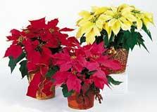 Cuidados o cuidado de las flores flor de pascua estrella - Flor de pascua cuidados ...