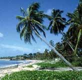 cocotero - Cocos nucifera
