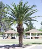 palmera de canaria - Phoenix canariensis