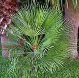 palmito - Chamaerops humilis