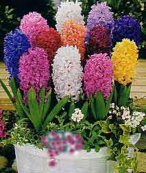 Infojardin bulbosas jacintos en maceta - Jacinto planta cuidados ...