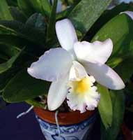 cattleya - orquideas