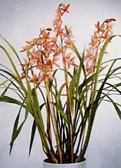 cymbidium - orquideas