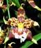 Odontoglossum spp. ........ ( Odontoglossum, Odontogloso, Orquídea tigre, Aguadija  )
