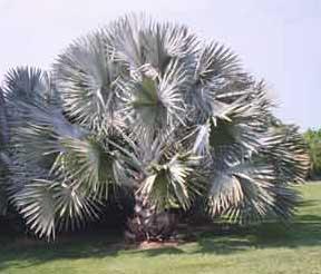 Bismarckia nobilis infojardin for Infos jardin
