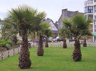 Wachintonas washingtonia robusta infojardin for Infos jardin