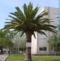 Washingtonia podada