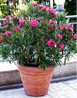 adelfa enana nerium oleander 39 nana 39. Black Bedroom Furniture Sets. Home Design Ideas