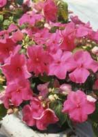 Plantas de interior balcon y terrazas taringa - Planta alegria de la casa ...