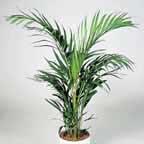 areca palmera