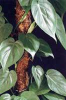 El filodendro, una planta de interior f�cil de cuidar y que limpia el aire