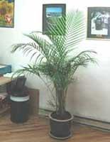 Palmeras en interiores palmera en interior - Plantas de interior palmeras ...