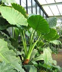 Alocasia oreja de elefante colocasia marquesa alcolcaz - Plantas de hojas grandes y verdes de exterior ...