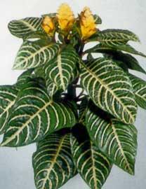 http://articulos.infojardin.com/plantas_de_interior/Fichas/fotos-fichas/aphelandra-squarrosa.jpg