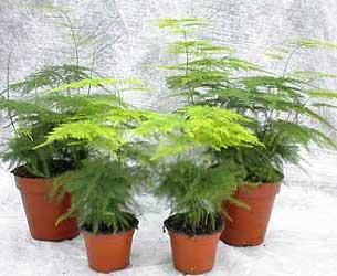 3222ec3c72 Esparraguera de las floristas - Asparagus plumosus