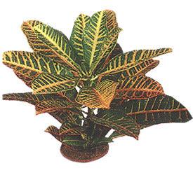 Croton diver diamond croton zanzibar plant - Imagenes de plantas de interior ...