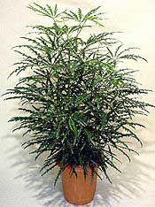 PLANTAS PARA SOMBRA. Dizygotheca-elegantissima
