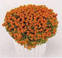 Nertera, Planta de las canicas, Baya de coral, Coralito, Uvita de agua