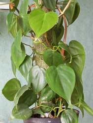 Filodendro Filodendron Filodendro De Hoja Acorazonada Philodendron Scandens