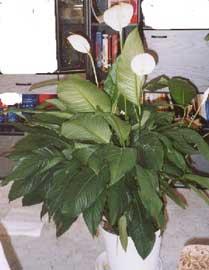 Espatifilo espatifilum cuna de mois s bandera blanca spathiphyllum wallisii - Planta cuna de moises ...