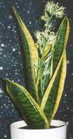 Sanseviera espada de san jorge lengua de suegra for Plantas de interior lengua de gato