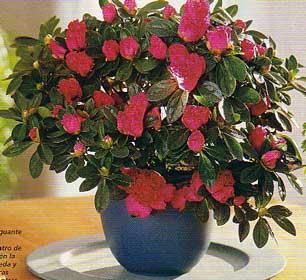 Infojardin azalea for Infos jardin