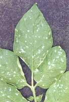 Enfermedades hongos bacterias y virus de plantas de interior - Enfermedades de las plantas de interior ...
