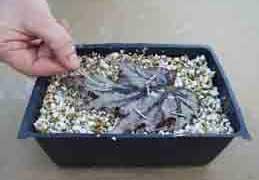 Traslado mi colección de crasas (identificaciones pag. 3) - Página 3 Esqueje-hoja-begonia-rex