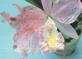botritis orquideas